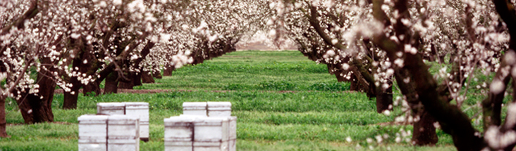 Photo of flowering trees and bee boxes in an orchard.